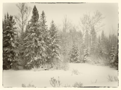 Black Spruce trees in winter